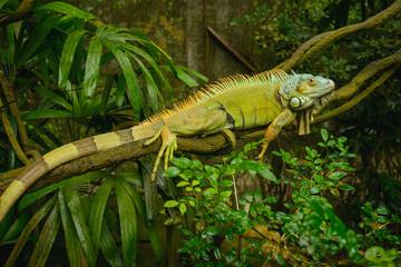 Green Iguana (Iguana iguana) Wall mural