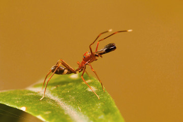 Ant mimicking spider, Myrmarachne plataleoides, Bangalore, Karnataka. Mimics the Kerengga or weaver ant . India, Sri Lanka, China and many parts of Southeast Asia.