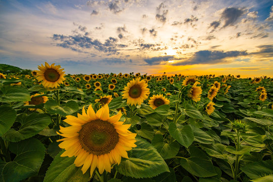 Scenic view of sunflower field during sunset