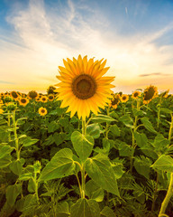 Tuinposter Zonnebloem Vibrant sunflower field in sunset