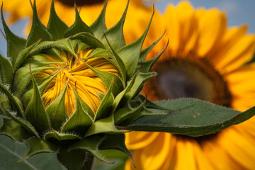 Sunflower Opening to the Sun