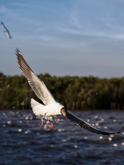 Seagulls in mangrove forest reserve bangpoo Thailand