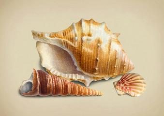 Watercolor illustration of shells