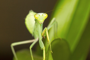 Green mantis, Bangalore, Karnataka