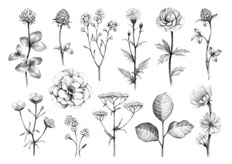 Pencil drawings of wild flowers