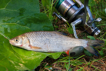 View of the European chub fish and fishing rod with reel on the natural background. .