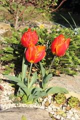 Tulipes  dans un massif fleuri