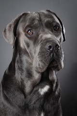 Beautiful Cane Corso studio portrait