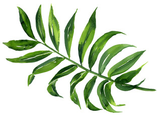 Realistic tropical botanical foliage plants. Tropical leaves: green palm neanta. Hand painted watercolor illustration isolated on white.