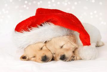 Zwei schlafende Golden Retriever Welpen unter einer Weihnachtsmütze
