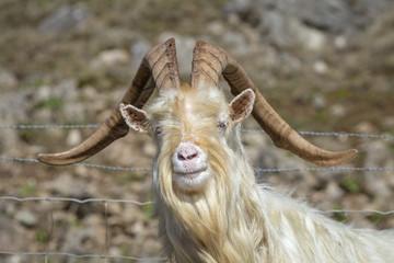 Wild Kashmiri Goat Close Up