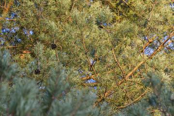 Pine cones in autumn colors.