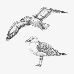 Hand drawn seagull. Marine bird. Vector illustration