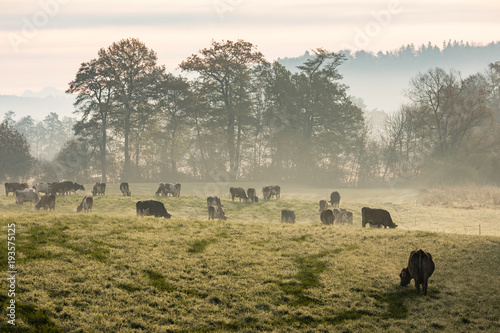 Wall mural Red and black Holstein cows are grazing on a cold autumn morning on a meadow in Switzerland