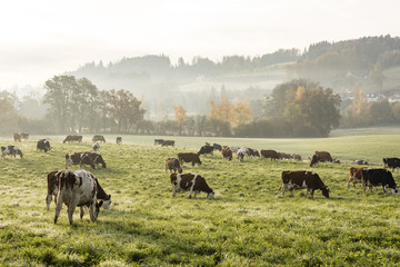 Wall Mural - Red and black Holstein cows are grazing on a cold autumn morning on a meadow in Switzerland