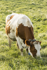 Wall Mural - Red Holstein cow eats grass on a cold autumn morning in Switzerland