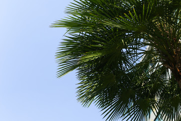 Fotomurales - portrait of big green palm, blue sky and sunshine in Thailand, Bangkok. concept of travel, warm countries, endless summer
