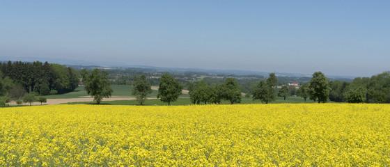 Yellow canola field landscape