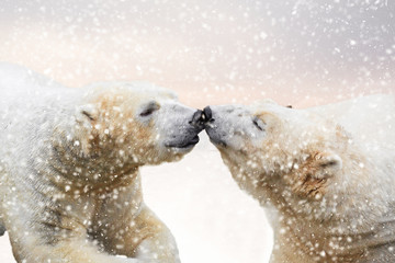 Polar bears in the snow being affectionate