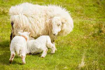 New born lambs suckling from the ewe