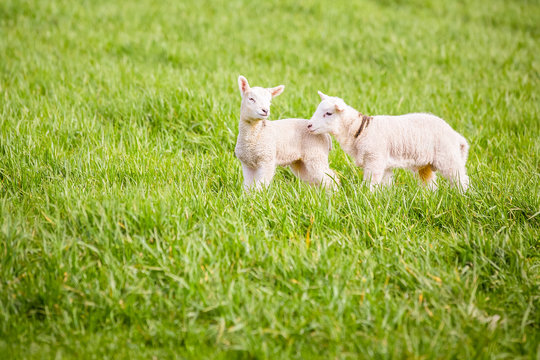 Two spring lambs playing in a field