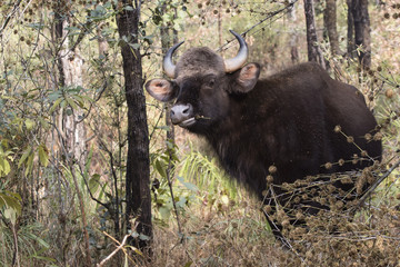 young male gaur or Indian bison who stands among the trees and grazes in the woods on a winter sunny day