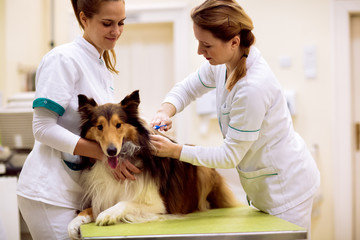 Veterinarian puts chip with dog's information to his neck