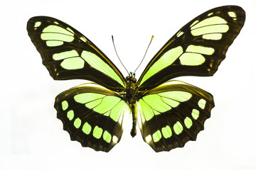 Macro photo of a beautiful lime green butterfly.  This is a Philaethria Dido Recto Longwing species from South America.