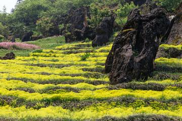 Stone pillar on yellow flower garden at Ham Rong Mountain Park in Sa Pa, Vietnam.