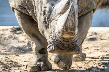 Photo sur Plexiglas Rhino Head portrait of Rhino on the sand