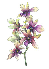 The branch of blossoming tropical purple flower orchid (Phalaenopsis orchid, Dendrobium). Black and white outline illustration with watercolor hand drawn painting. Isolated on white background.