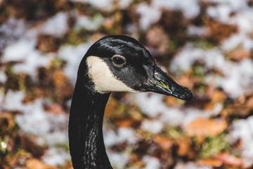 Goose Closeup