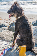 Hippie dog with dreadlocks relaxing at the beach