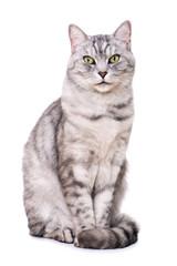 Getigerte Katze sitzt isoliert auf weißem Grund