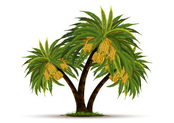 date palm on white background