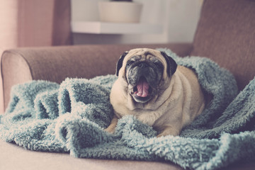 sunlight is come and it's time to wake up for a clear funny pug with blue blanket. Sleeping on the sofa and open mouth.