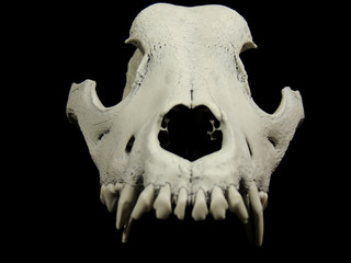 Teeth of upper jaw of the dogs skull on black background