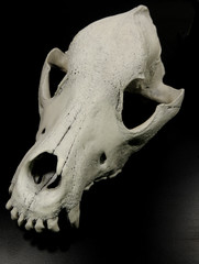 Skull of a dog without lower jaw on black surface top view