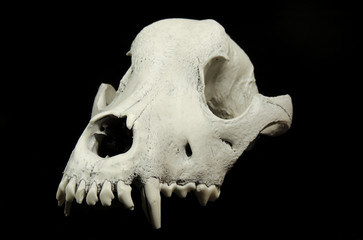 Front shot of the dog skull without lower jaw