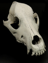 Skull of dog with preserved teeth studio isolated