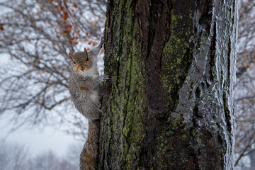 Squirrel on an Icy Tree