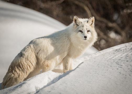 Arctic Fox - Vulpes Lagopus - Resting In The Snow