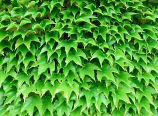 Ivy leaf texture, green background.