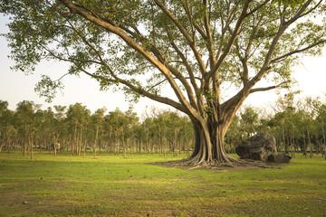 Big tree (Bonhi) in the natural park.  Nature background.