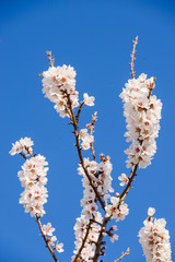 Blossom Flower under blue sky in the early Spring