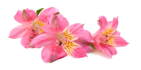 flowers isolated on white background. Alstroemeria