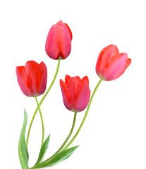 tulip flowers isolated on white background