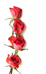 Beautiful pink rose flowers with leaves isolated on white