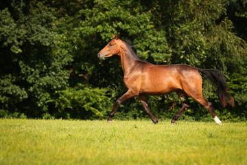 horse brown on the pasture in motion gangue gallop free running..