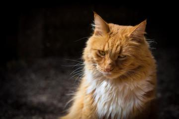 Ginger suspicious cat  portrait